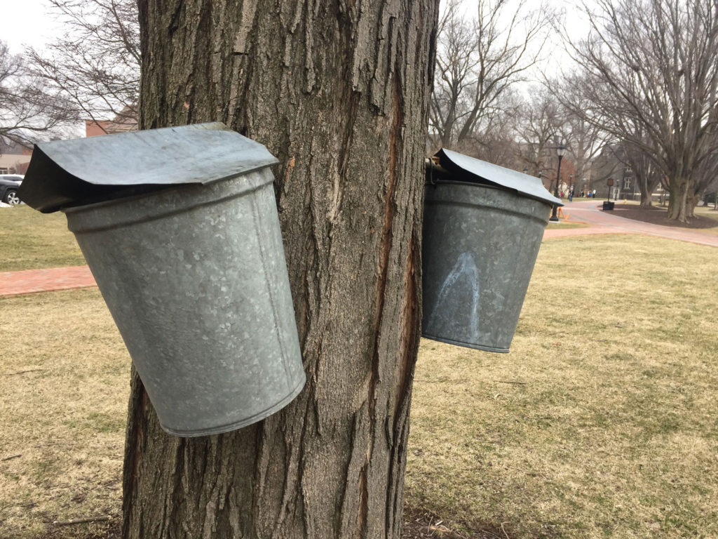 Two steel buckets hang from a maple tree.