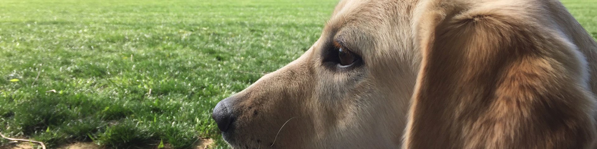 A yellow Labrador retriever puppy looks out on a green field.